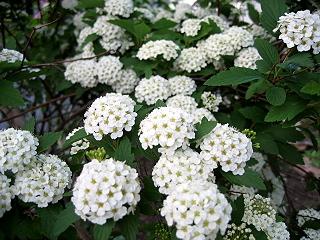 20060611flower2