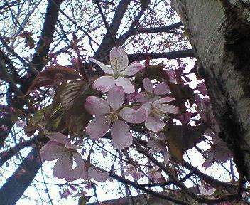桜きたる!