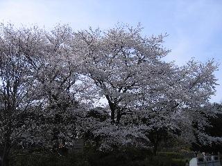 20080329sakura1