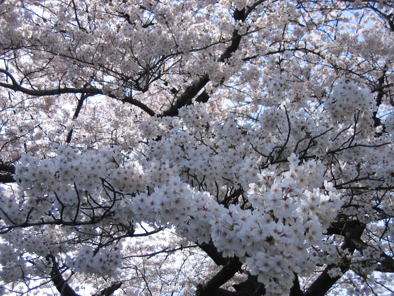 20080329sakura_large