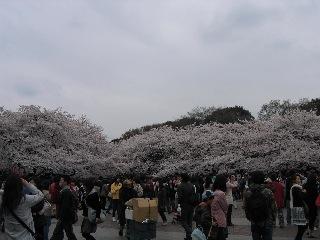 20080330sakura5_2