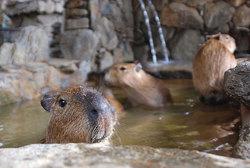 20081208capybara